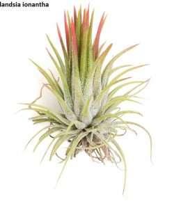 10 seeds Air Plant Tillandsia cretacea