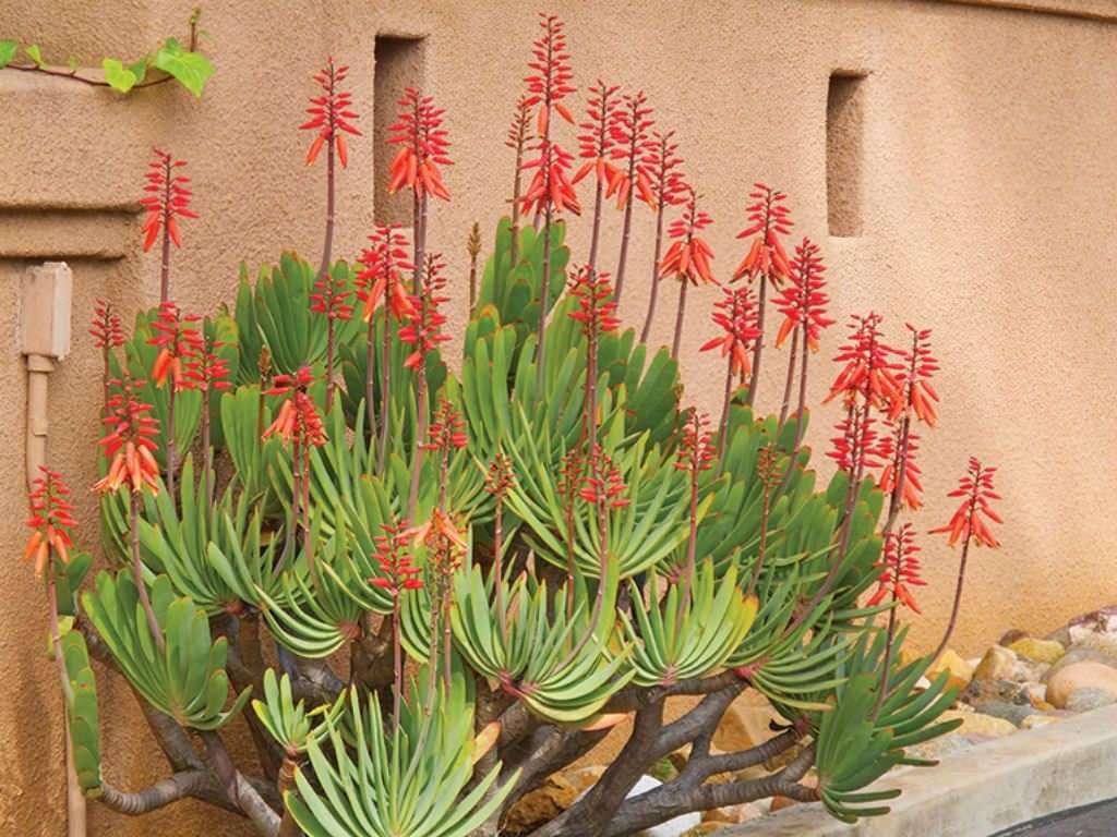 Kumara plicatilis aka Fan Aloe