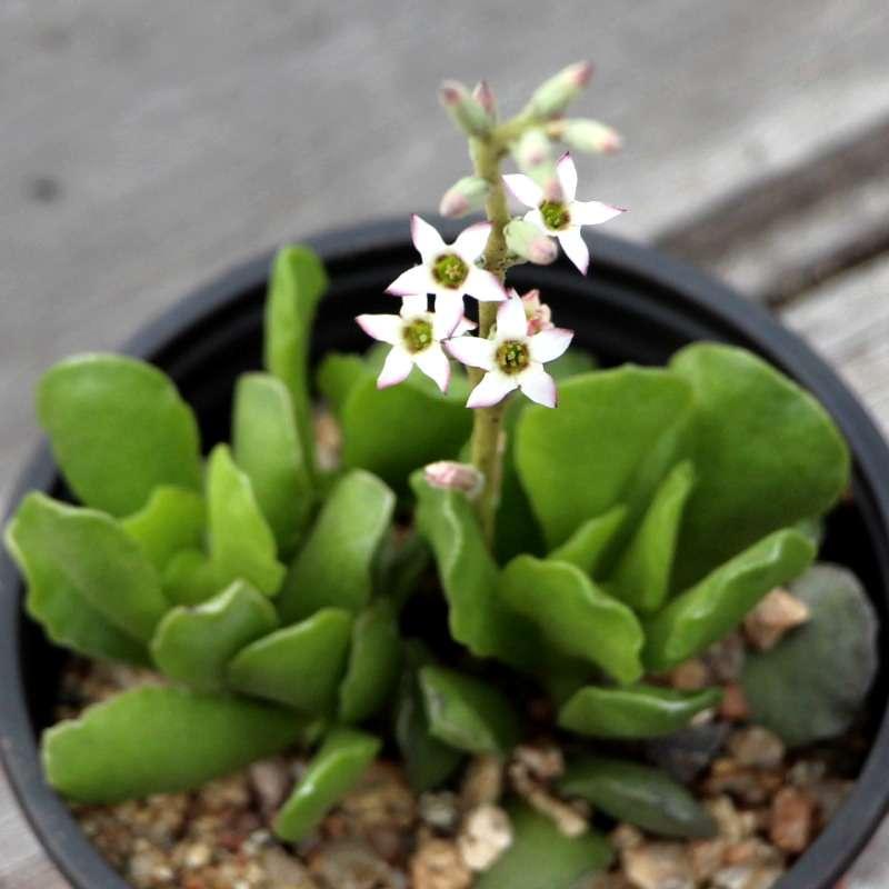 Crinkle-Leaf Plant Flowers