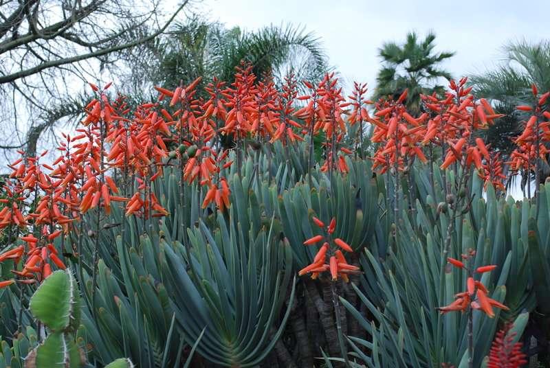 Fan Aloe Blooming