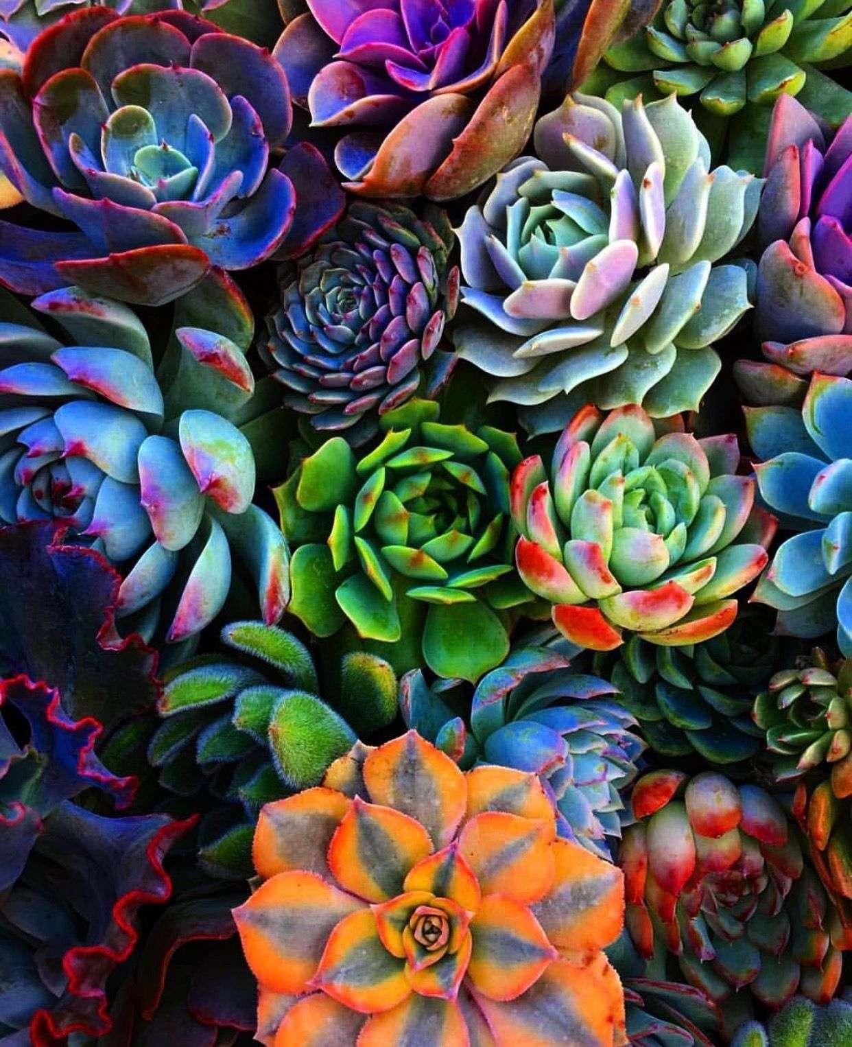 Bright-colored Succulents
