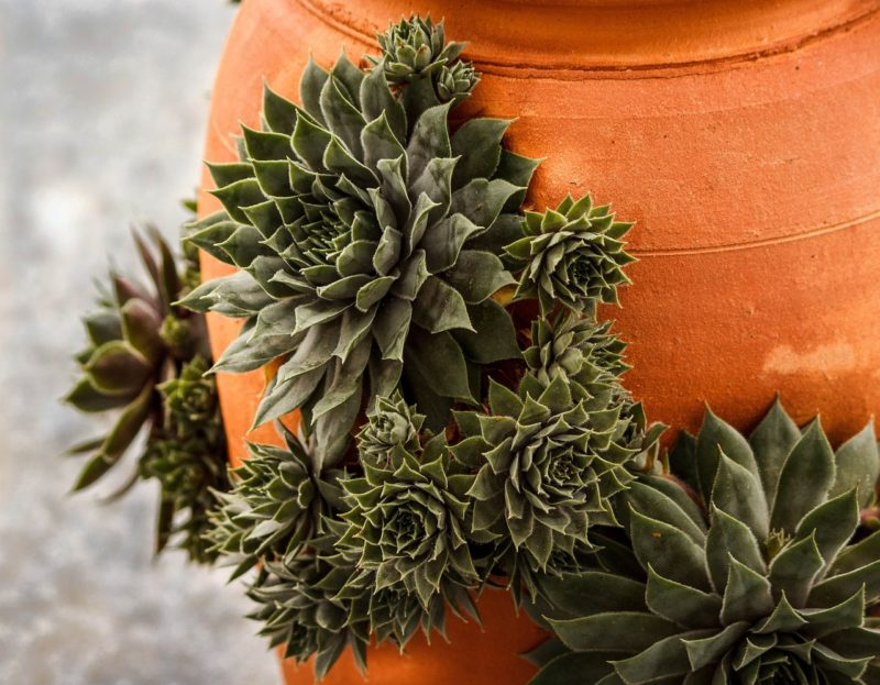 Succulent With Offsets