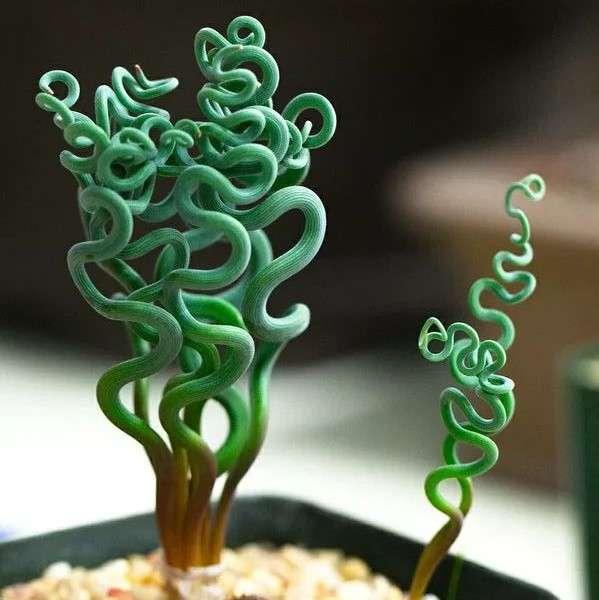 Trachyandra Tortilis