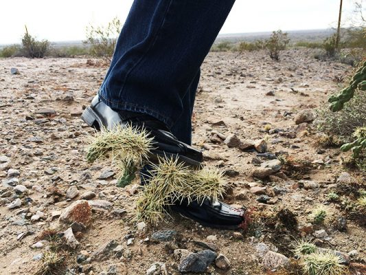 Jumping Cholla Cactus Stuck On The Shoe