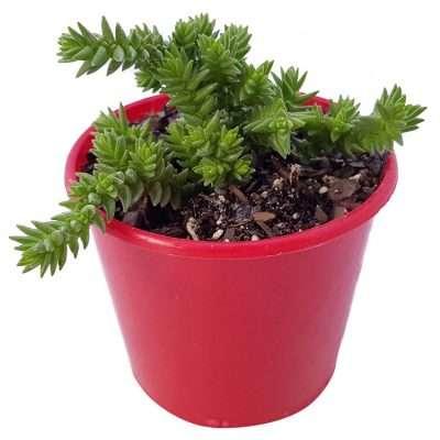 Crassula Muscosa aka Watch Plant