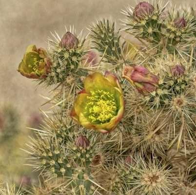 Jumping Cholla Cactus Flower