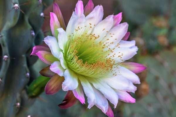 Totem Pole Cactus Flower