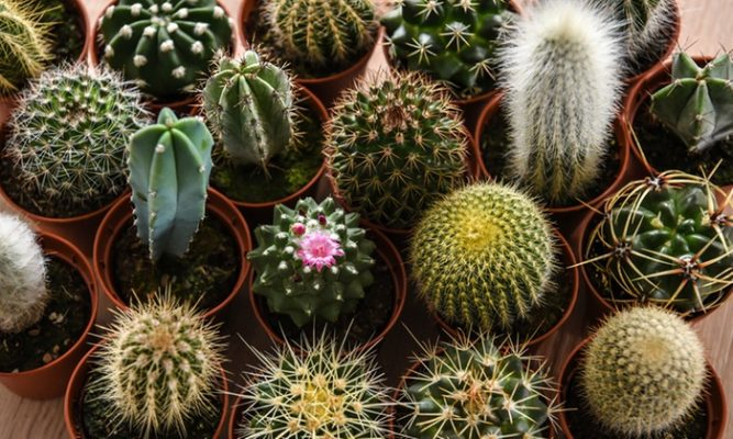 Rare Cactus Plants Collection