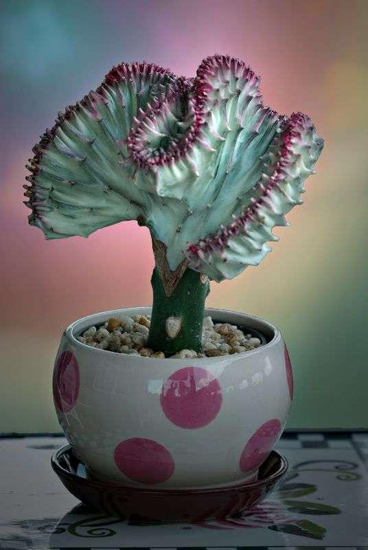 Purple Coral Cactus
