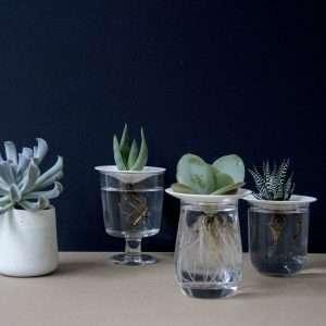 Water Propagated Succulent Cuttings