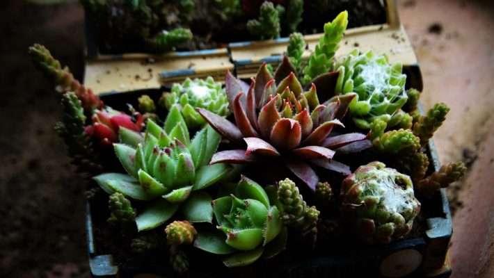 3CM Succulent Plant Echeveria Blue Surprise Crassulaceae Home Garden Outdoor